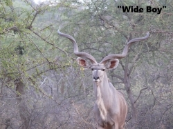 "LOT K 011 EXCEPTIONAL WIDE KUDU BULL TIP TO TIP 51.5"" SOLD: R 60 000"