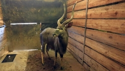 "30"" NYALA BULL LOT 008 - NOT SOLD R 340 000"